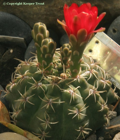 Gymnocalyciums: Gymnocalycium-baldianum-flowera