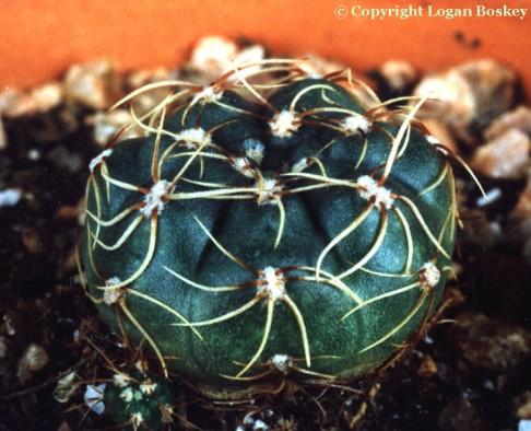 Gymnocalyciums: Gymnocalycium leeanum