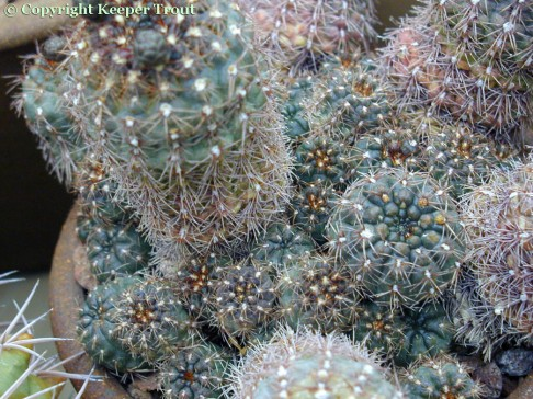 Gymnocalyciums: Gymnocalycium-mesopotamicum-HBG
