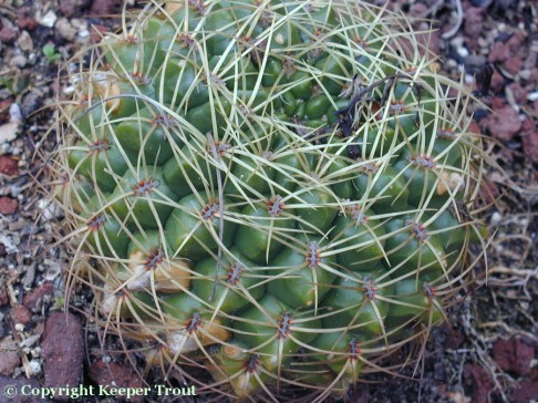 Gymnocalyciums: Gymnocalycium-monvillei-Paraguay-6848-EWerdermann-sn-HBG-2006
