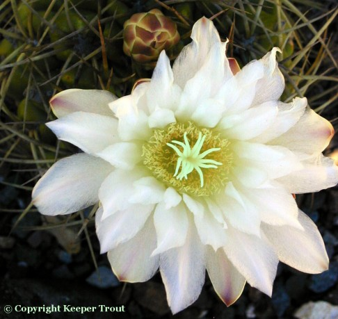 Gymnocalyciums: Gymnocalycium-multiflorum-flower