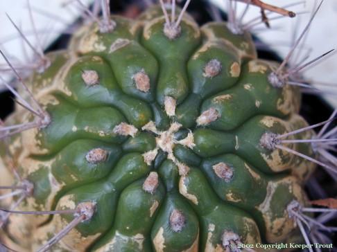 Gymnocalyciums: Gymnocalycium riograndense
