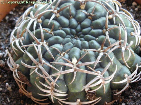 Gymnocalyciums: Gymnocalycium triacanthum
