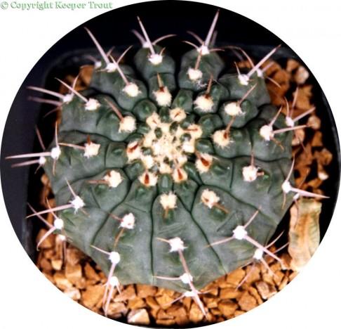 Gymnocalyciums: Gymnocalycium vatteri