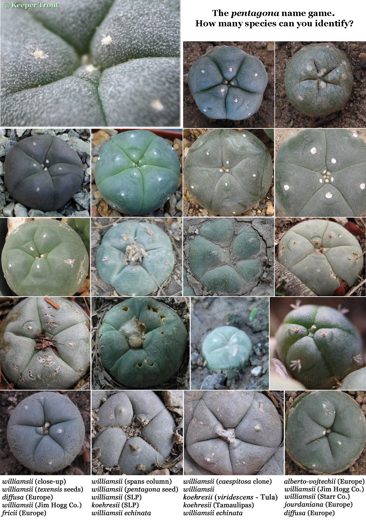Lophophora pentagona name game