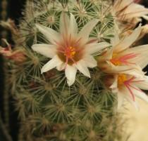 Mammillaria-sp-NMCR