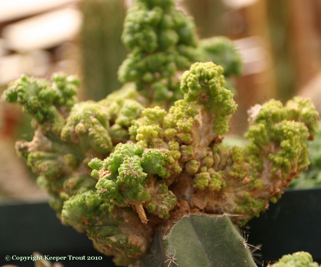 NMCR-Mammillaria-bocasana-cv-Ethel