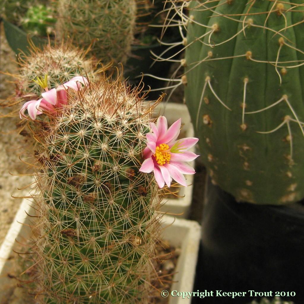 Mammillaria-microcarpa-NMCR