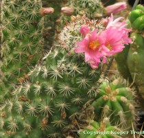 Mammillaria-occidentalis-NMCR