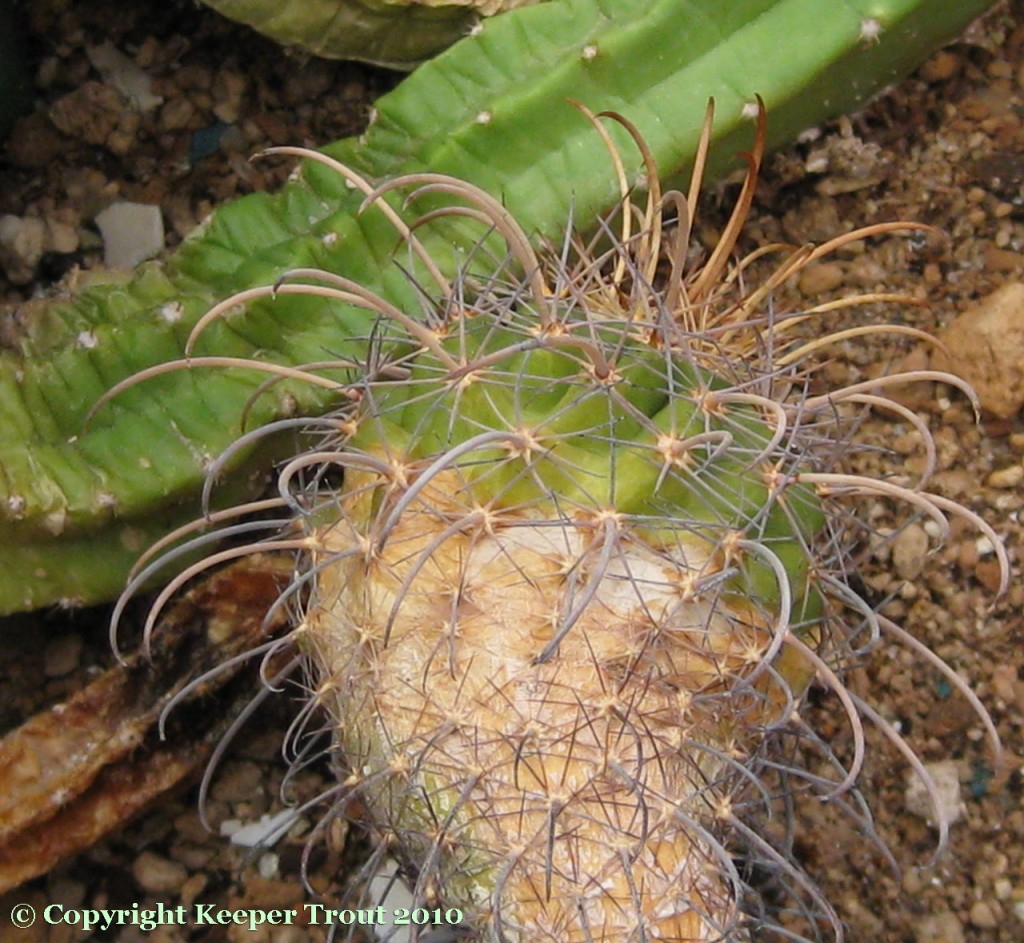 Parodia-splendens-f-major-NMCR
