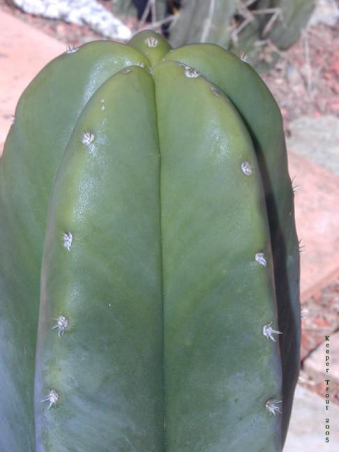 Trichocereus scopulicola NMCR