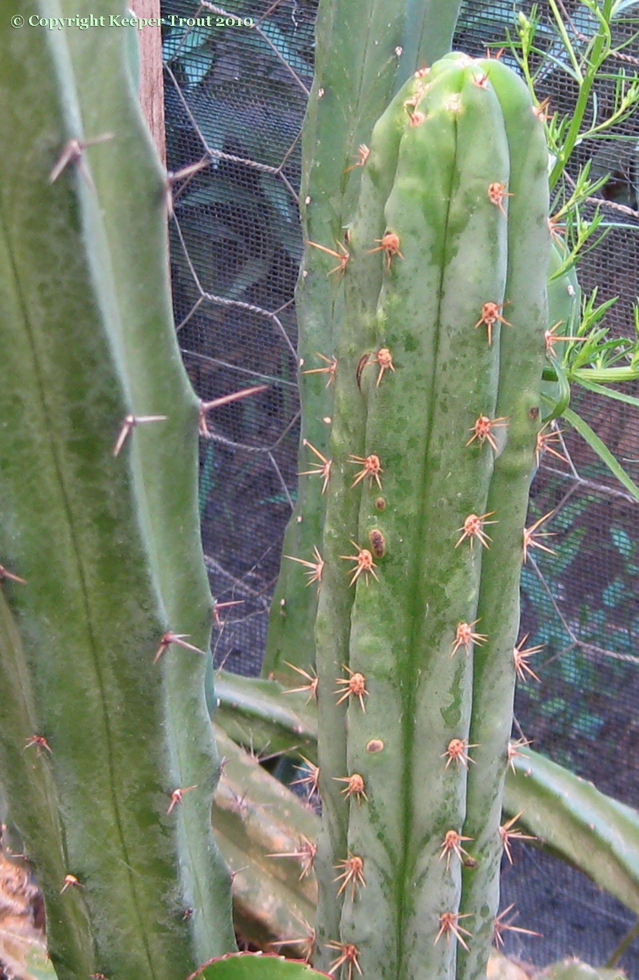 Trichocereus-pachanoi-crassiarboreus-NMCR-2010