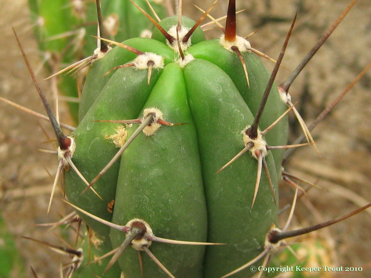 Trichocereus-macrogonus-KK923-NMCR_2010