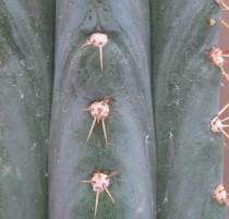 Trichocereus-macrogonus-giganteus-Field-NMCR