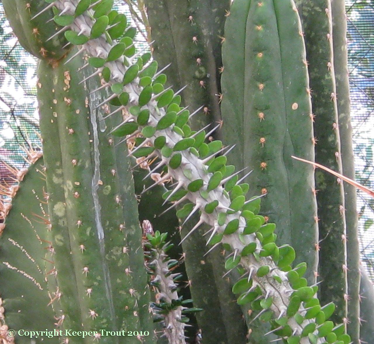 Trichocereus-pachanoi-Tarapoto-NMCR-2010