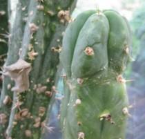 Trichocereus-pachanoi-crassiaboreus-NMCR
