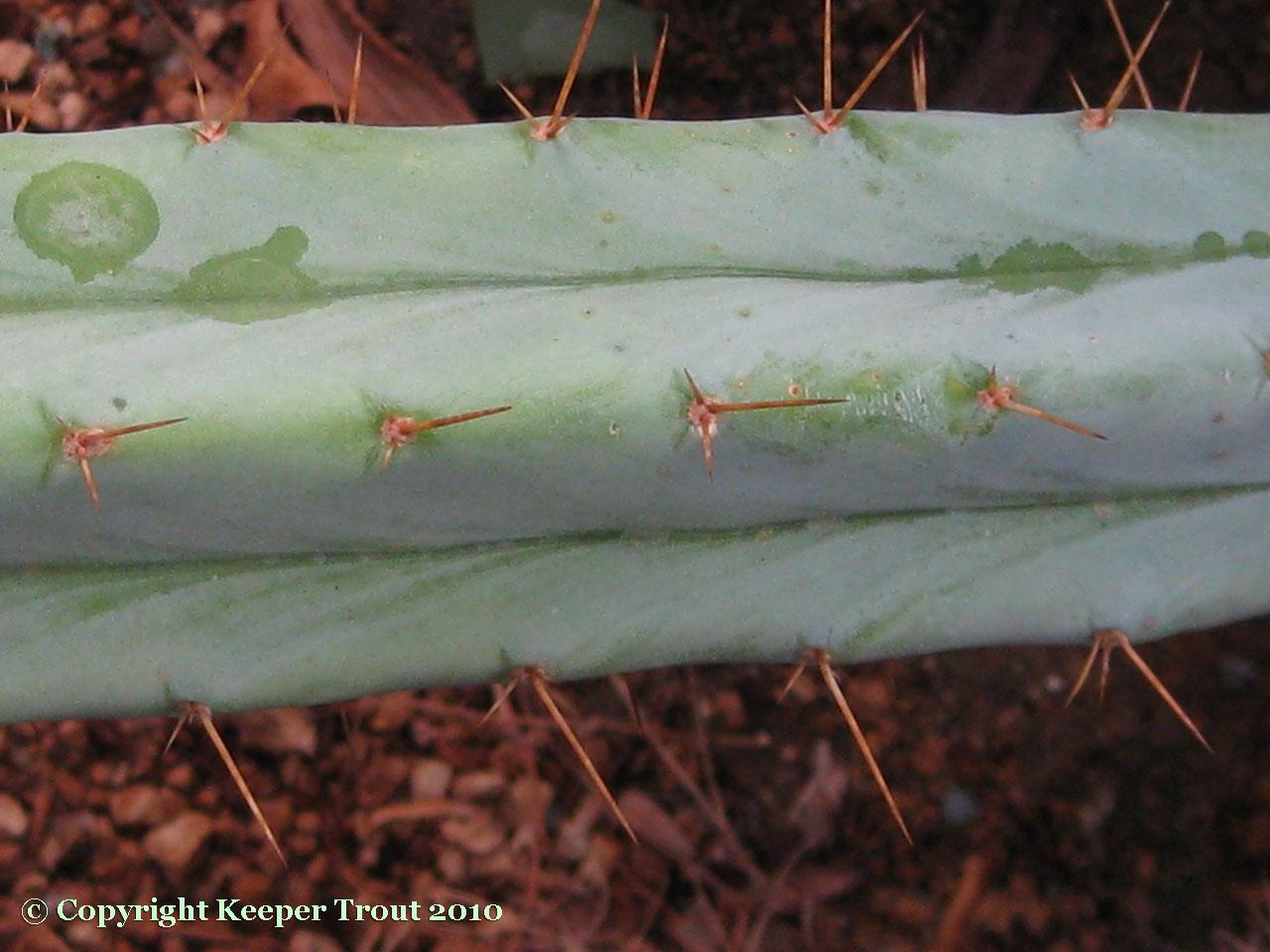 Trichocereus-pachanoi-var-puquiensis-NMCR-2010