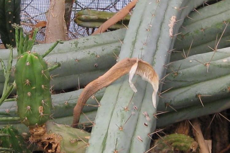 Trichocereus-pachanoi-var-puquiensis-NMCR-2010_strip