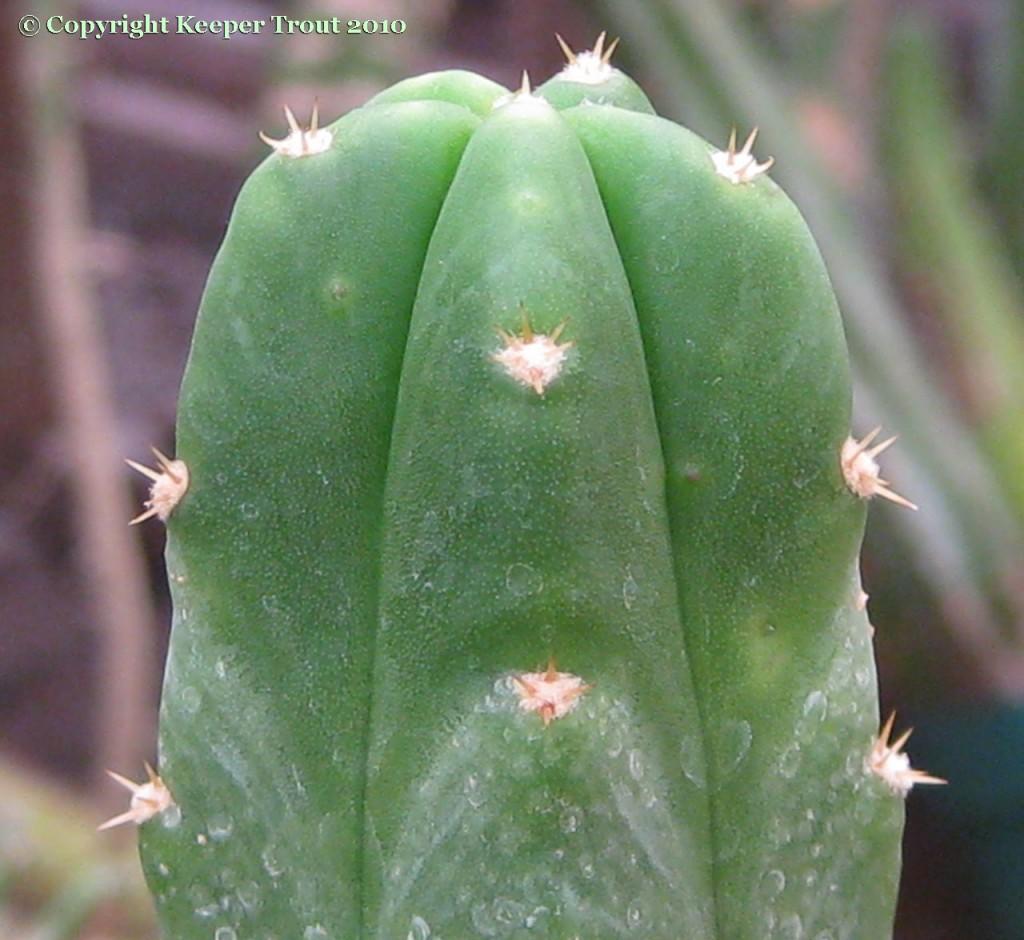 Trichocereus-pachanot_NMCR
