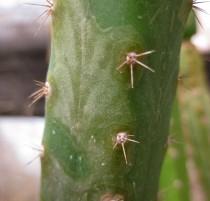 Trichocereus-riomizquensis-NMCR-2010