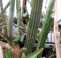 Trichocereus-rubinghanus-NMCR-2010