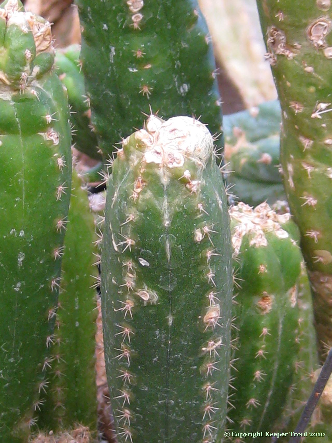 Trichocereus-scopulicolus-NMCR_2010