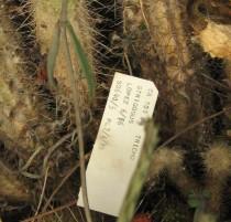 Trichocereus-strigosus-NMCR-2010