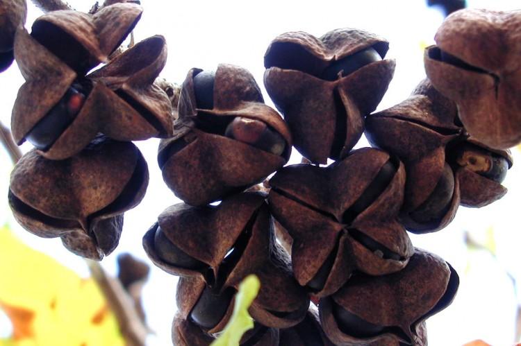 Ungnadia speciosa seed pods