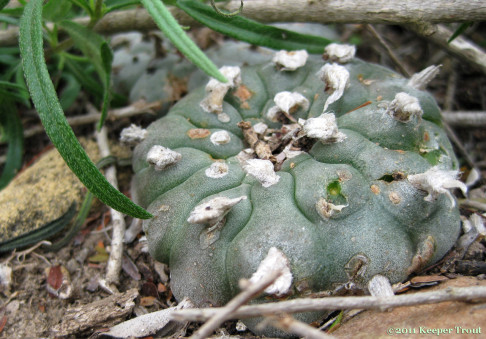 Lophophora-williamsii-tufted-JimHoggCounty