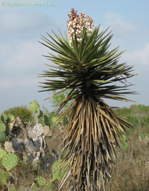 Yucca-treculeana-JimHoggCo-2011