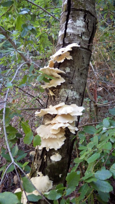 Oysters on a dead tan-oak