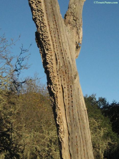 Acorn woodpeckers' larder