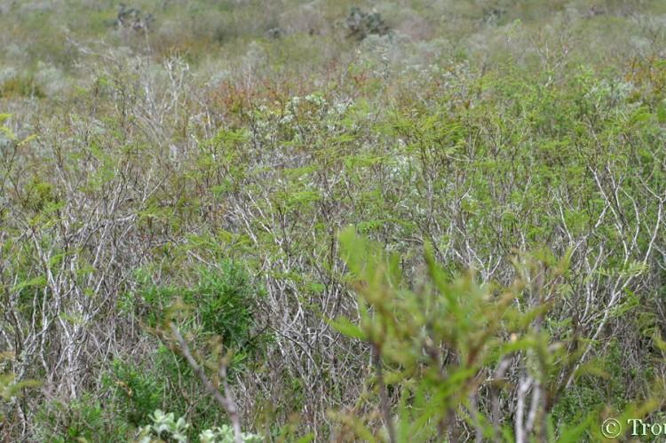 Acacia Berlandieri Acacia Rigidula Trouts Notes