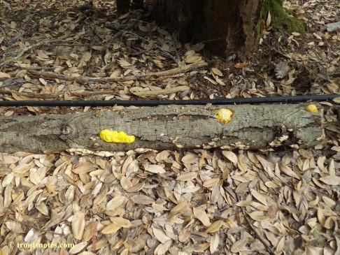 Fuligo septica on a log