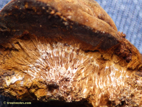 maybe slime-mold sclerotia (interior)?