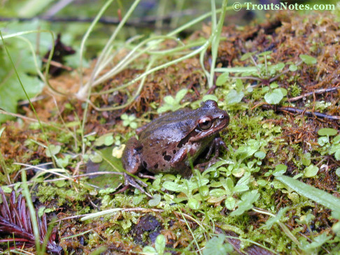 Acris crepitans; the Pacific Chorus frog