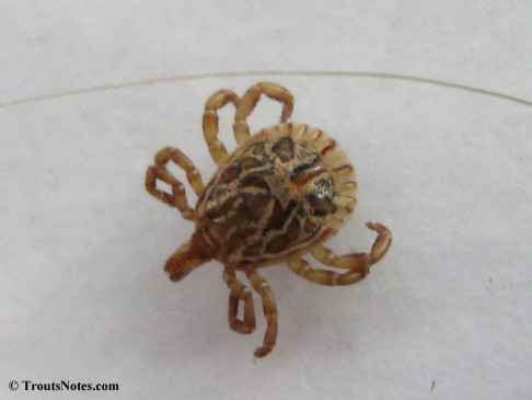 Amblyomma cajennense from Jim Hogg County Texas