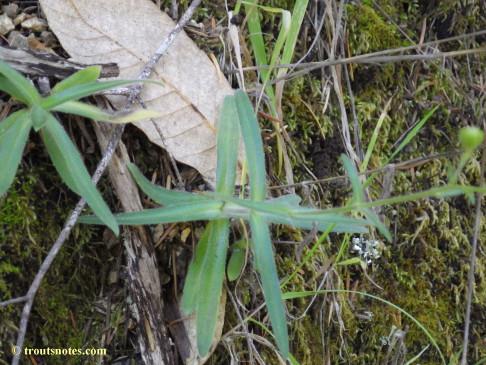 Anisocarpus madioides