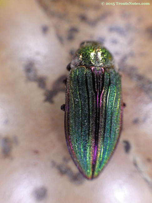 Buprestis aurulenta the Golden Buprestid Beetlee Golden Buprestid Beetle