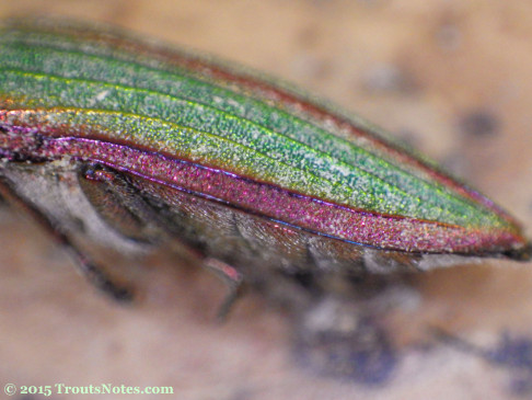Buprestis aurulenta the Golden Buprestid Beetle