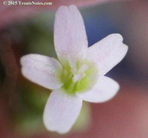 Claytonia perfoliata subsp. perfoliata; Miner's lettuce