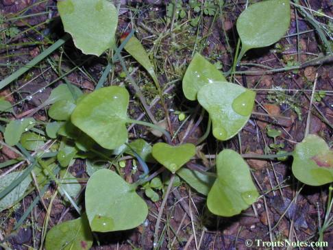 Claytonia perfoliata subsp. perfoliata