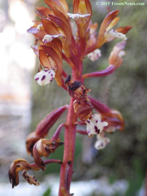 Corallorhiza maculata; spotted coral-root