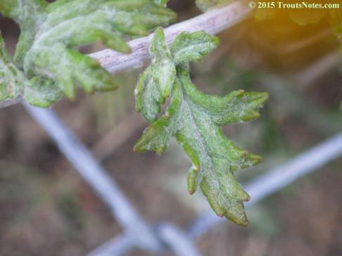Eriophyllum ambiguum