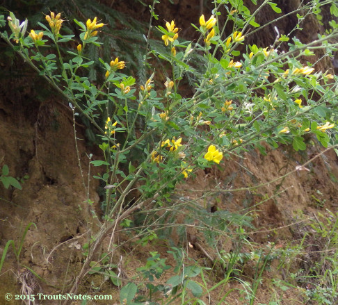 Genista monspessulana 12 May 2015