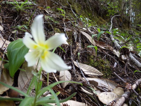 Erythronium californicum; the trout lilly