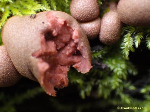 Wolf's milk slime mold
