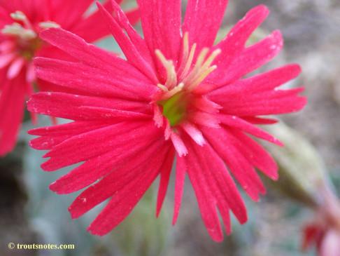 Silene laciniata ssp. californica