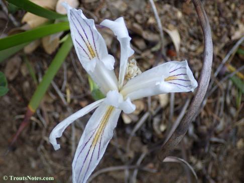 wild iris hybrid