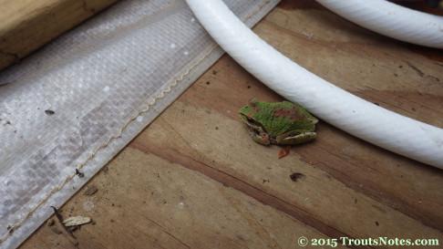 Pacific chorus frog (Acris crepitans)